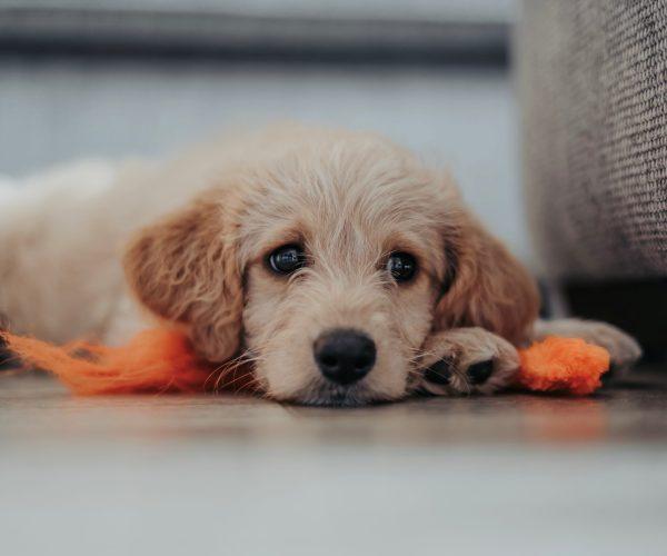 unsplash puppy 2